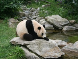 Giant panda at Vienna Zoo 266x200 - Turistična ponudba